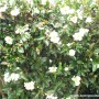 camellia-setsugekka-1.jpg