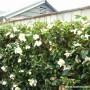 camellia-setsugekka-2.jpg