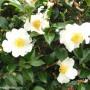 camellia-setsugekka.jpg