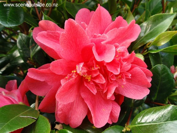 camellia-williamsii-anticipation