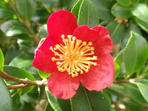 camellia-yuletide