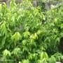chimonanthus-praecox-foliage.jpg