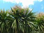 cordyline-australis