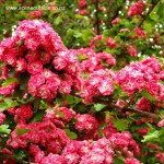 crataegus-paul-s-scarlet