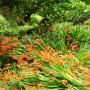 crocosmia-crocosmiifolia.jpg