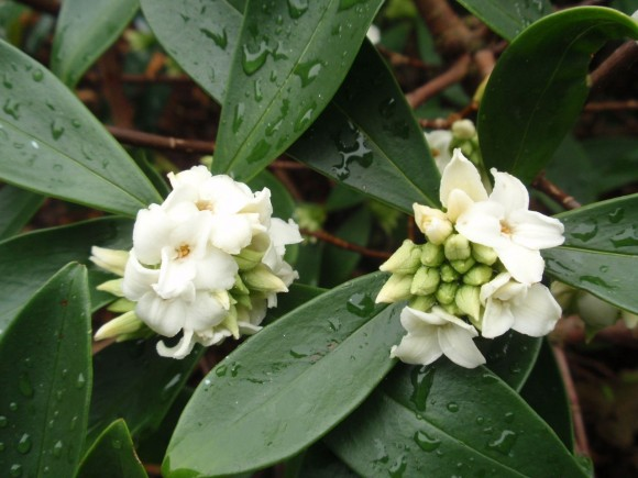 daphne-odora-alba