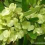 dodonaea-viscosa-seed-capsules-1.jpg