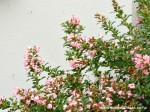 escallonia-apple-blossom
