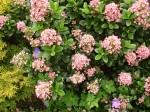 escallonia-pink-elle