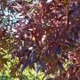 fraxinus-angustifolia-raywood.jpg