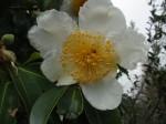 gordonia-axillaris