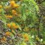 grevillea-robusta-1.jpg