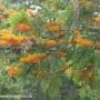 grevillea-robusta-2.jpg