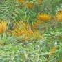 grevillea-robusta.jpg