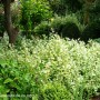 helichrysum-petiolare-limelight-2.jpg
