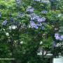 jacaranda-mimosifolia-1.jpg