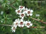 kunzea-ericoides