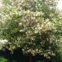 lagunaria-patersonii-1.jpg