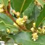 laurus-nobilis-flowers.jpg