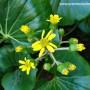 ligularia-japonicum-giganteum-flowers.jpg