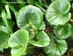 ligularia-japonicum-giganteum-leaves