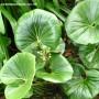 ligularia-japonicum-giganteum-leaves.jpg