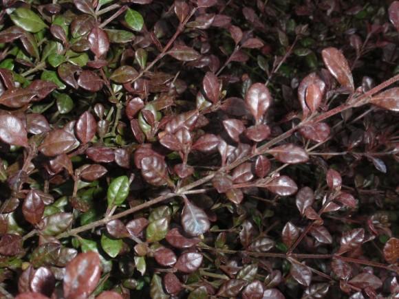 lophomyrtus-ralphii-red-dragon