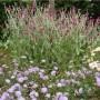 lychnis-coronaria-scabiosa-caucasica.jpg