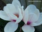 magnolia-athene