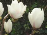 magnolia-manchu-fan