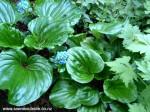 myosotidium-hortensia