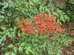 nandina-domestica-richmond