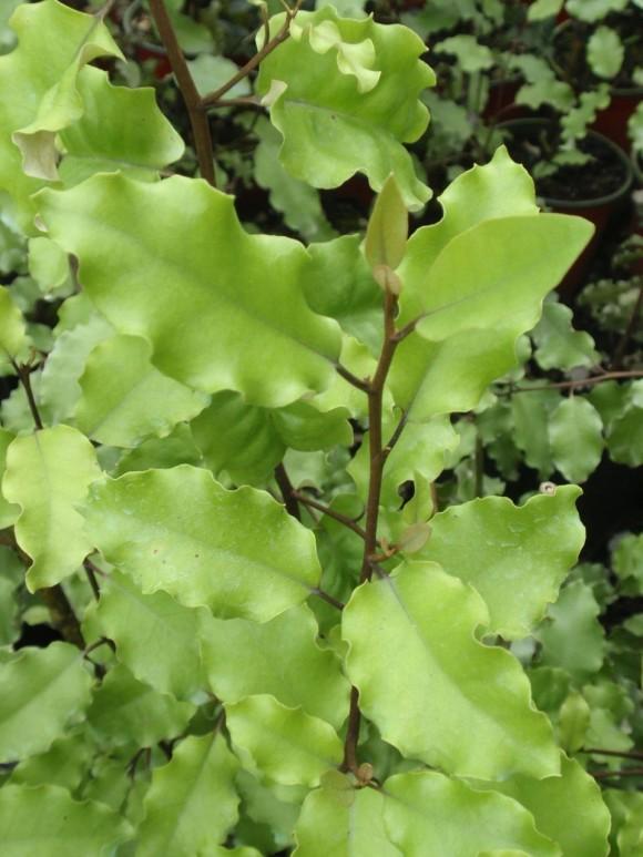 olearia-paniculata