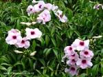pandorea-jasminoides