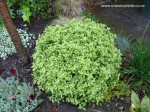 pittosporum-tenuifolium-golfball