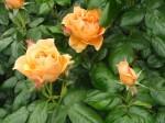 rosa-easy-going