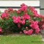 rosa-flowercarpet-pink.jpg