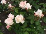 rosa-fond-memories