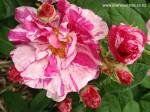rosa-gallica-versicolor