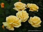 rosa-glorious