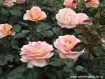 Rosa 'Hamilton Gardens'
