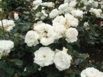 rosa-margaret-merril