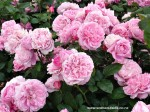 rosa-mary-rose