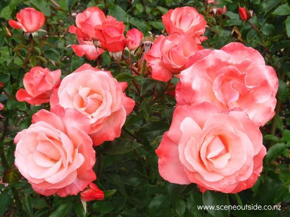 rosa-mary-s-love