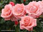 rosa-modern-miss