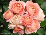 rosa-my-mum