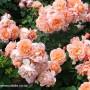 rosa-my-mum-2.jpg