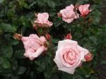 rosa-new-zealand