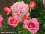 rosa-pacific-glory