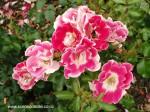rosa-picotee